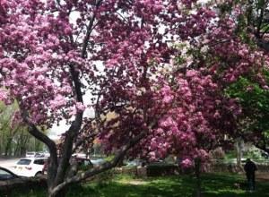 fruit trees in bloom Riverside Park